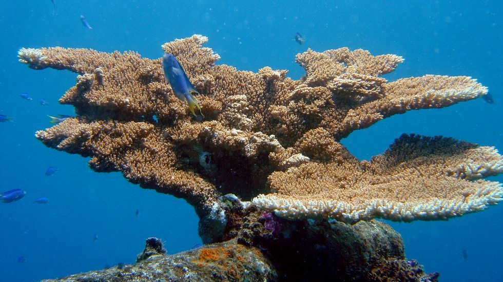 El calentamiento global afecta a los corales, hasta el punto de que podría provocar su muerte si no se revierte el proceso