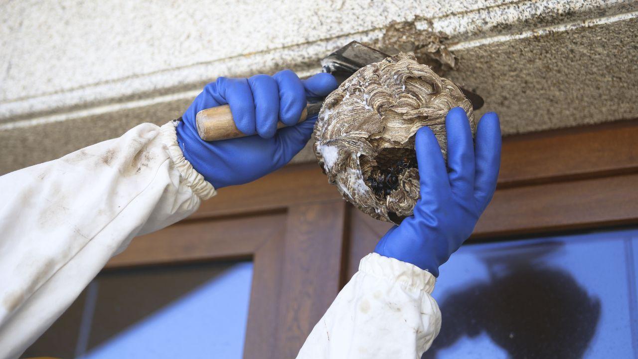 Así retiraron el nido de velutinas de Arteixo.