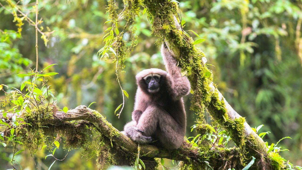 La lucha contra la plaga del pino.Especie de gibón descubierta, junto a otras 156, a lo largo de 2017 en el Gran Mekong (Asia)
