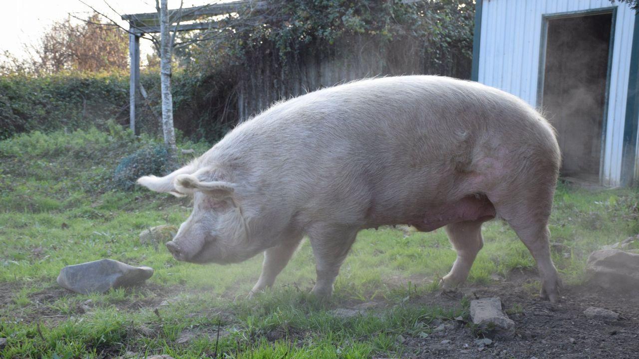 Y es que Quinín comía mucho y bien. Era un cerdo muy goloso