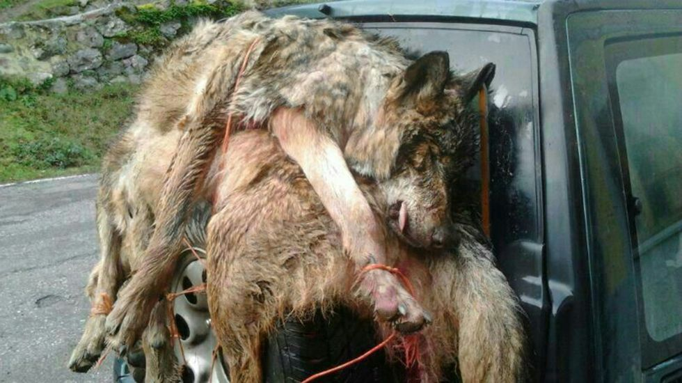 .Lobos muertos