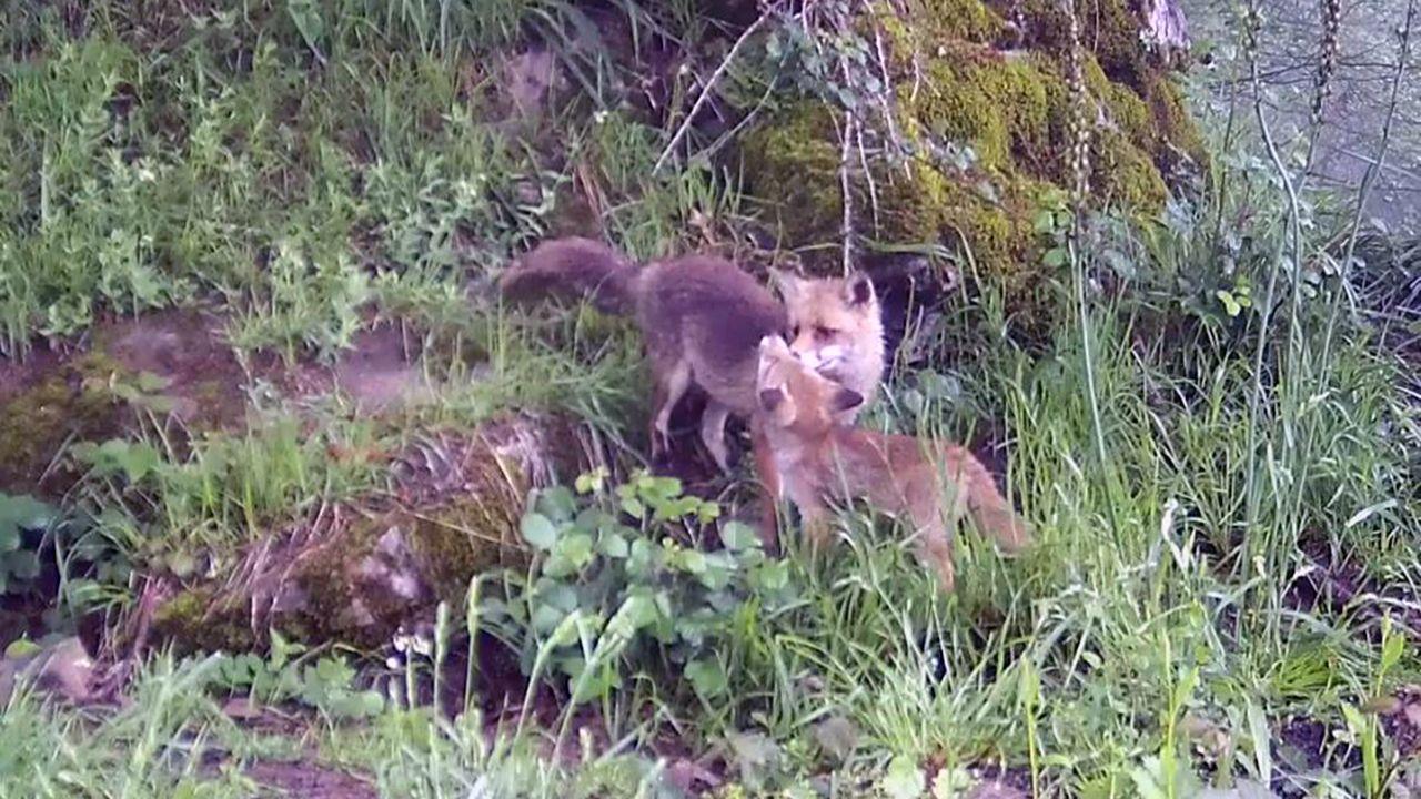 El Fapas, en defensa del zorro.