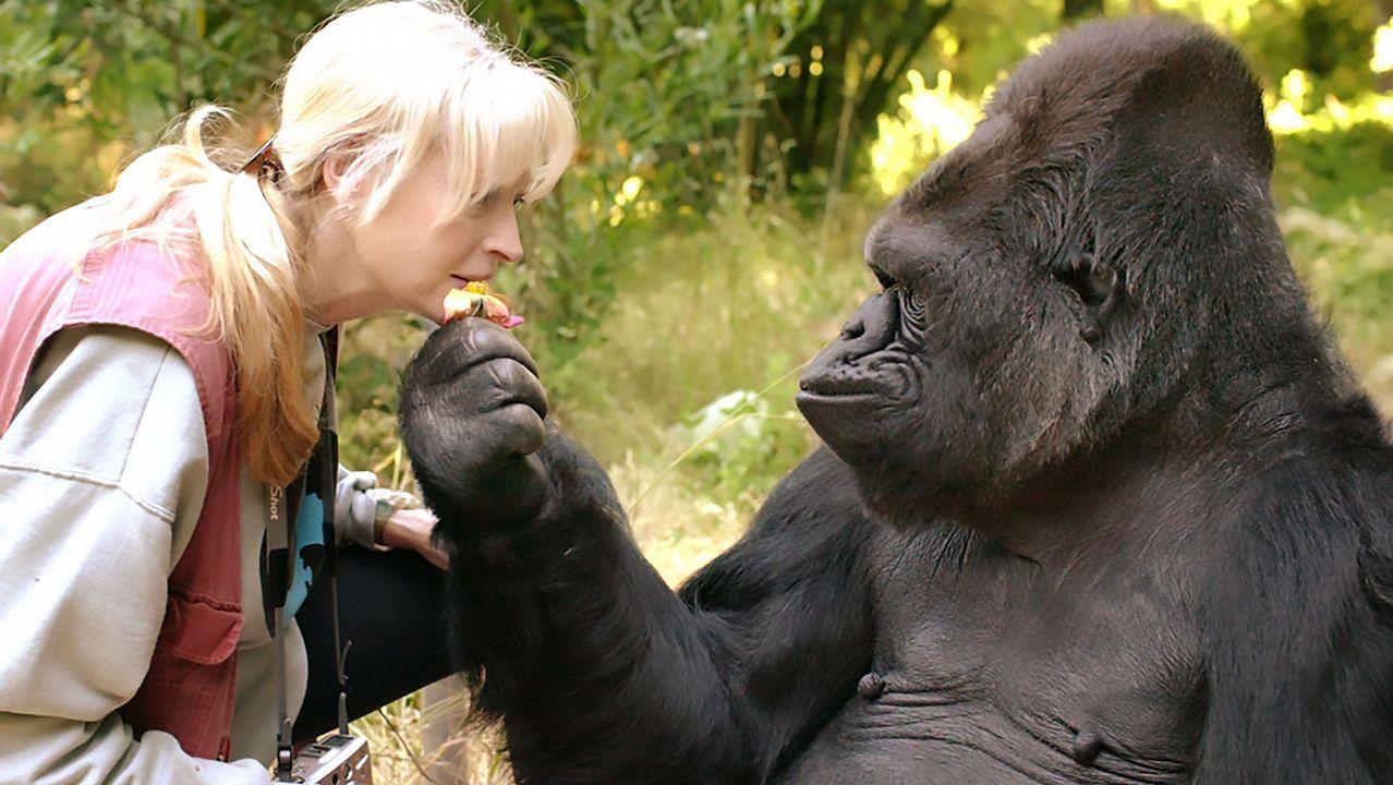Muere Koko, la gorila capaz de «hablar» a través de lengua de signos.Playa de Poo