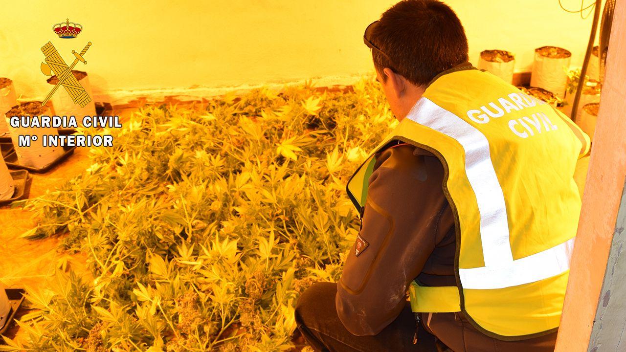 El bum del tráfico de heroína en Galicia ya dispara la demanda para desengancharse.Plantas de marihuana incautadas por la Guardia Civil en Oviedo