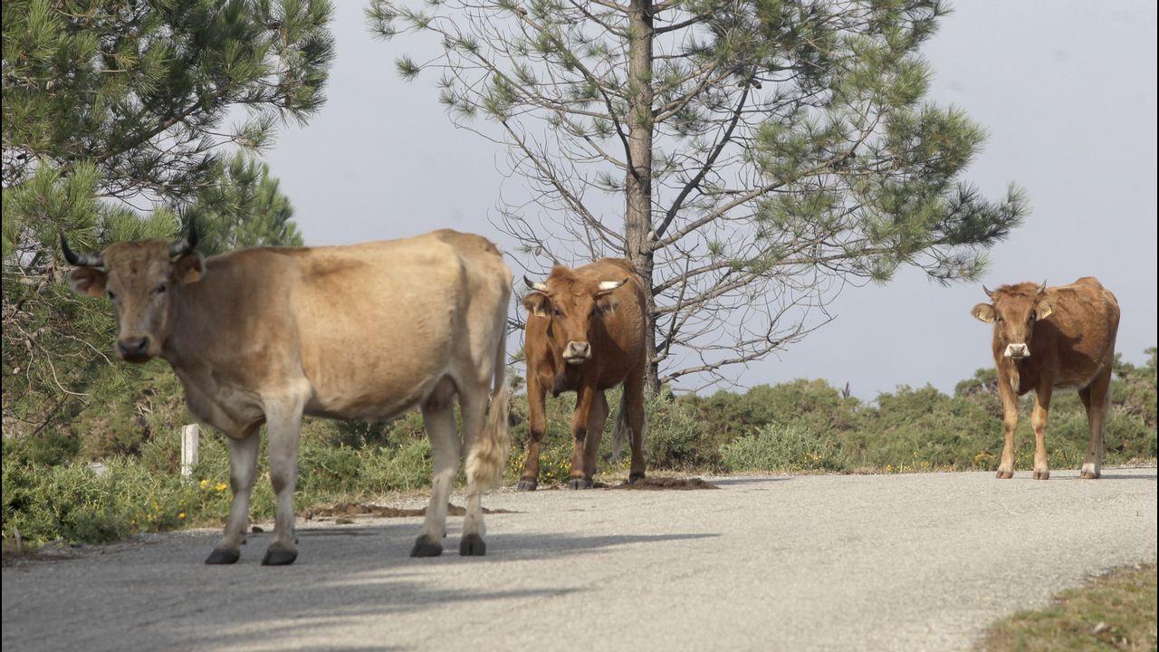 Atascado en una aldea de A Gudiña por culpa del GPS.Serán plantados varios miles de castaños