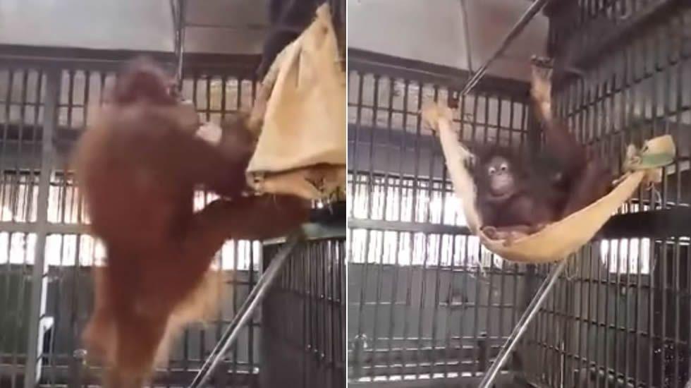 Un orangután construye una hamaca