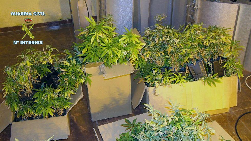 Parte de las 113 plantas localizadas en el chalet de Gijón que se utilizaba como plantación de marihuana.Parte de las 113 plantas localizadas en el chalet de Gijón que se utilizaba como plantación de marihuana