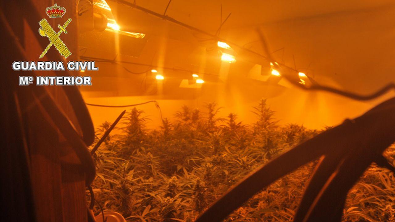 Dos detenidos en Sobrado dos Monxes por cultivar cerca de 800 plantas de marihuana.