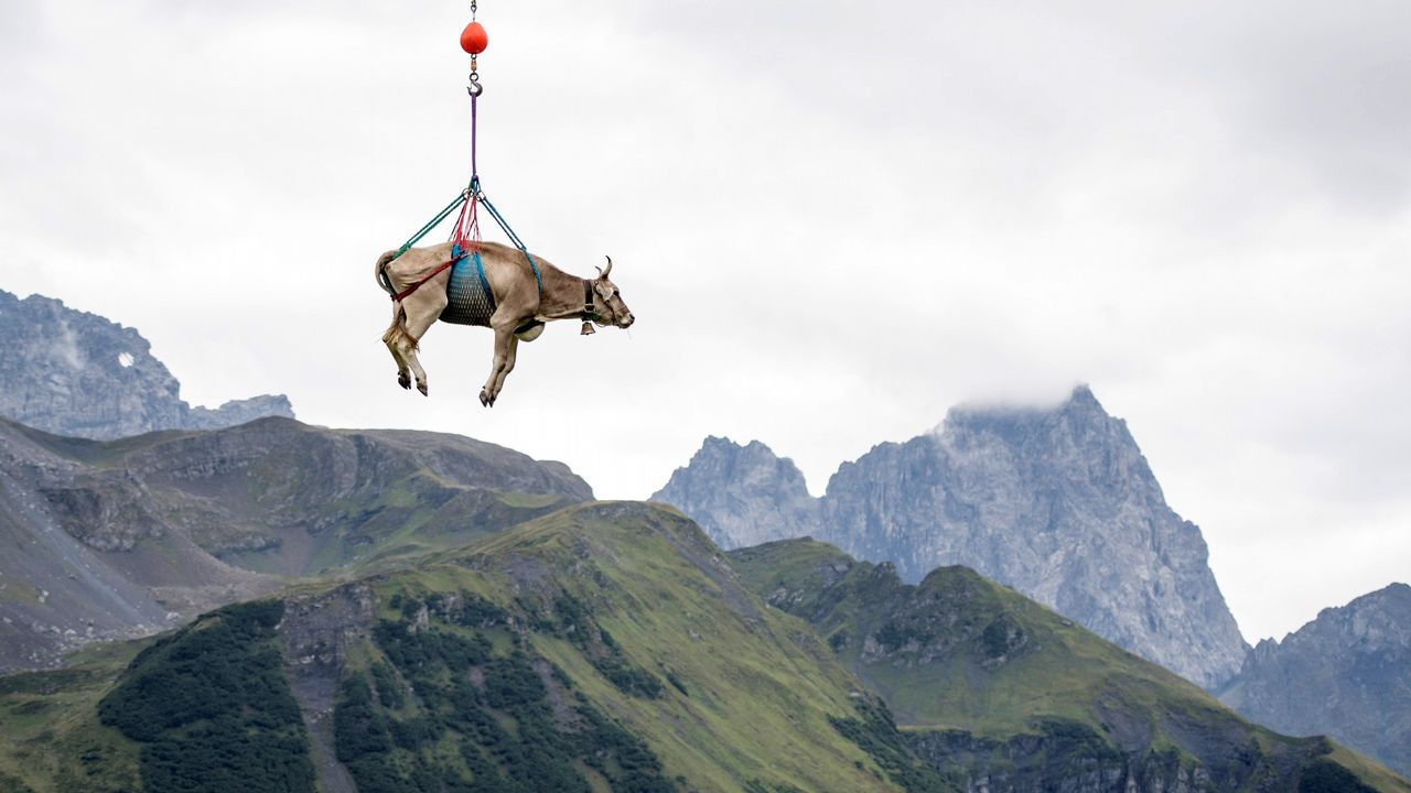 Una vaca levemente herida es trasladada en helicóptero del paso de montaña de los Alpes Klausen Pass durante el «Bodenfahrt», el traslado de alrededor de 1.000 vacas a la zona baja de los Alpes.