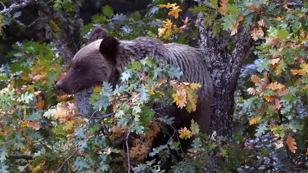 Juan Vázquez.Un oso pardo aparece entre unos árboles