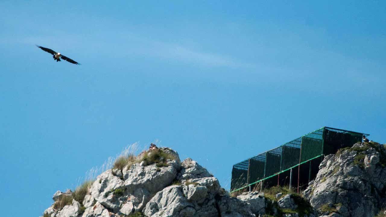 Fotografía facilitada por la Fundación para la Conservación del Quebrantahuesos (FCQ) de ejemplares de quebrantahuesos en una plataforma de hacking (crianza campestre) en el Parque Nacional Picos de Europa (Foto archivo). Sesenta años después de su desaparición de la cordillera cantábrica, el quebrantahuesos, un buitre en peligro de extinción, afianza su recuperación en los Picos de Europa con una unidad reproductora consolidada y la suelta récord de 7 ejemplares, antes de que finalice el mes de julio.