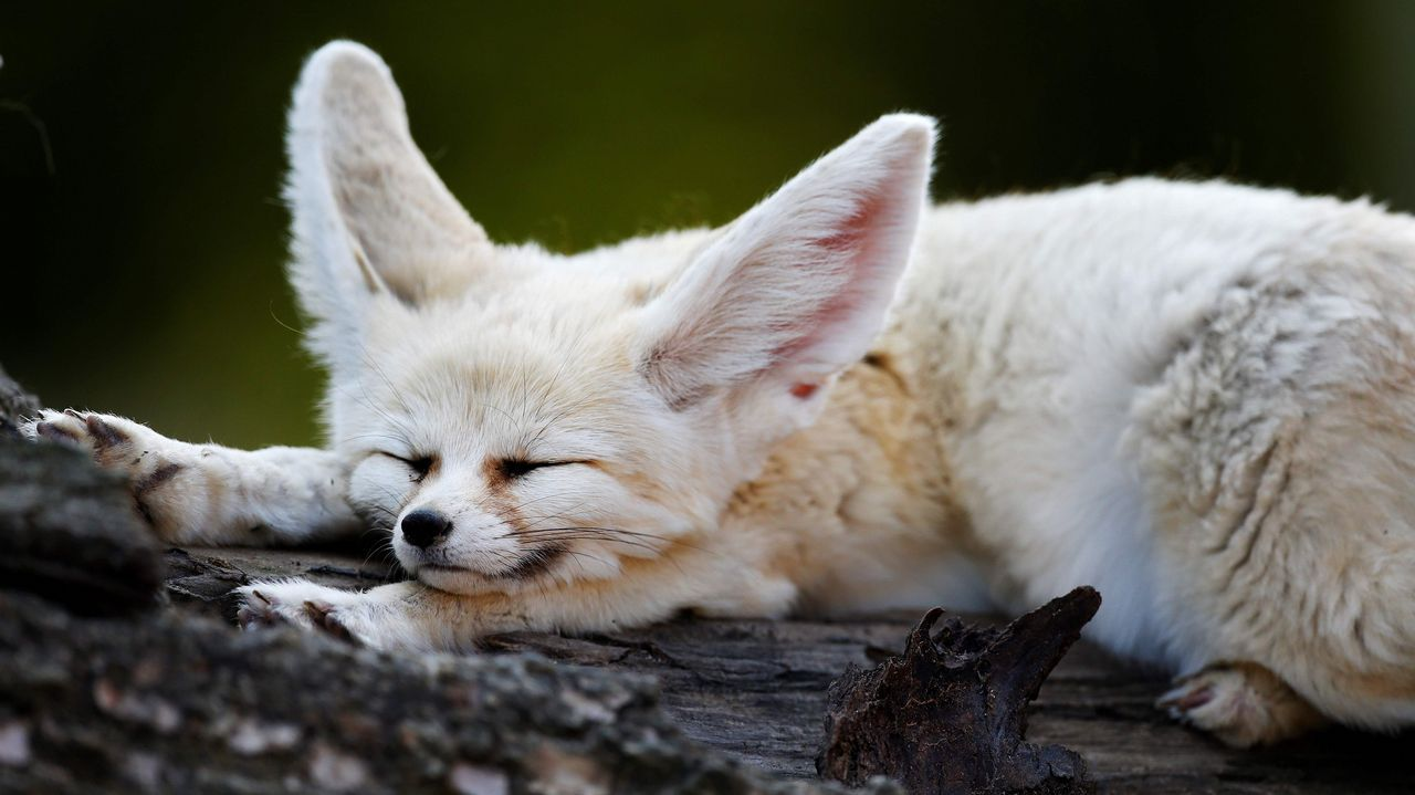 .Un fennec (mamífero también conocido como zorro del desierto) duerme en el recinto del Zoológico de Biotropica en Val-de-Reuil (Francia)