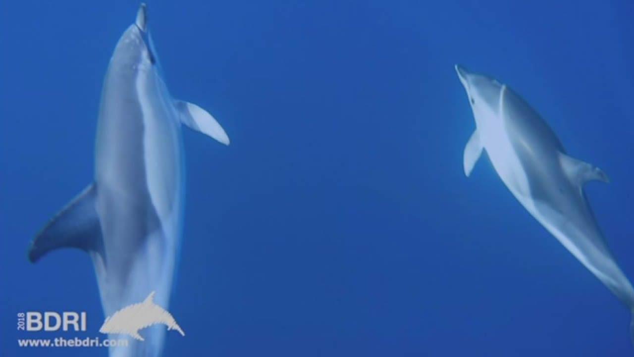 Un nuevo grupo de delfines visita Corrubedo.