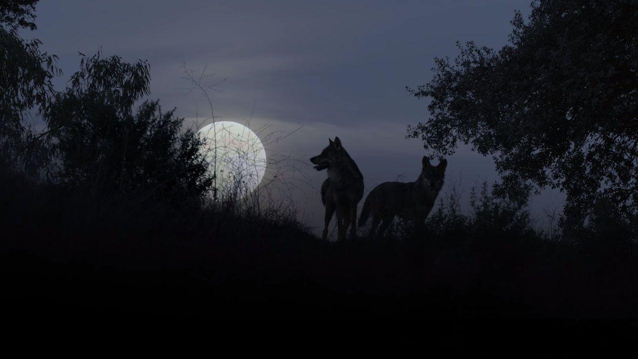 Barbacana, la huella del lobo.