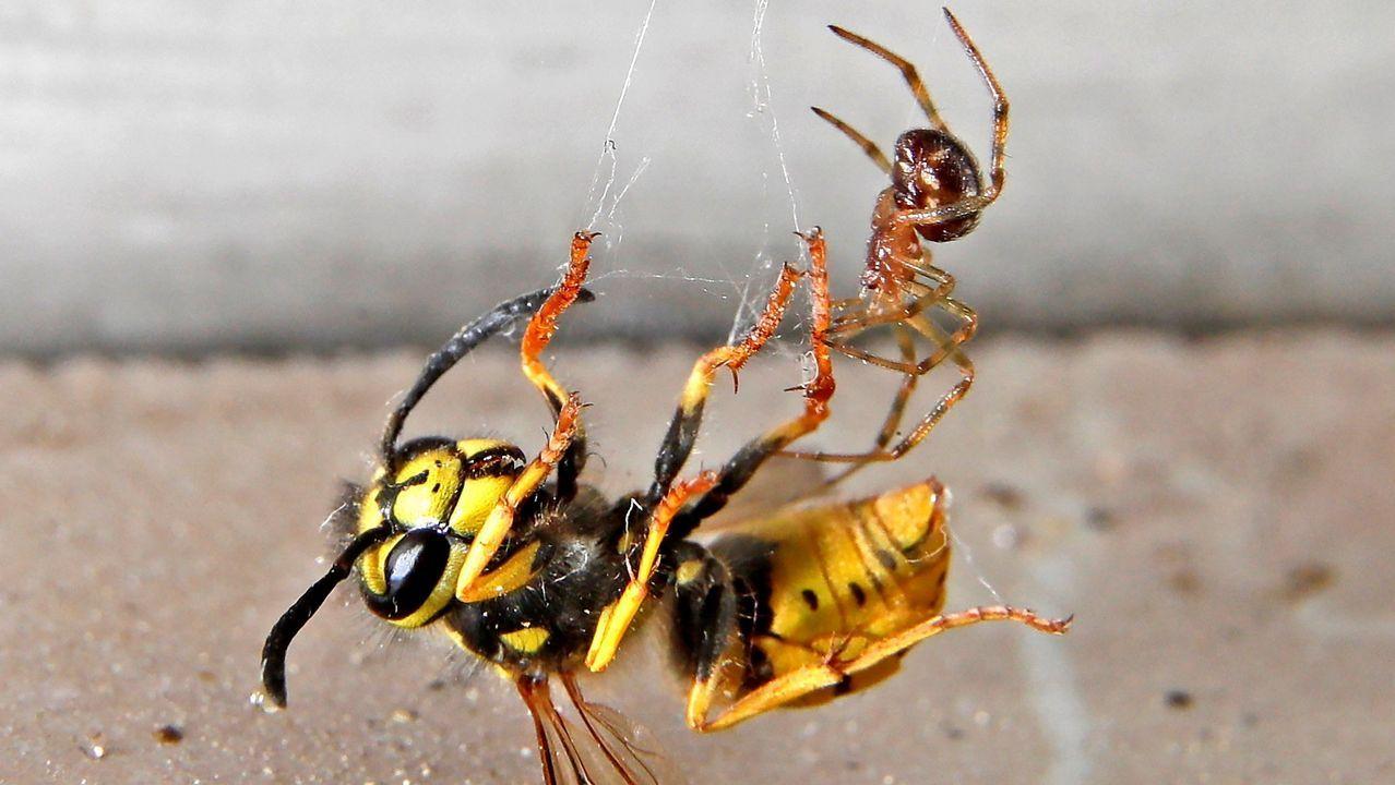 .Una araña de jardín europea caza una avispa común, en Speyer (Alemania)