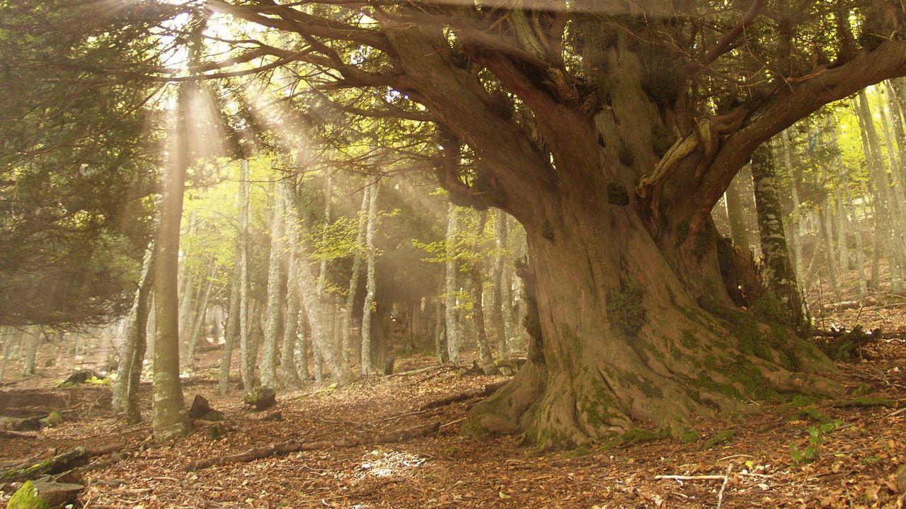 Fotografía facilitada por el naturalista Ignacio Abella de un tejo silvestre en pleno bosque, en Santa Coloma (Asturias).