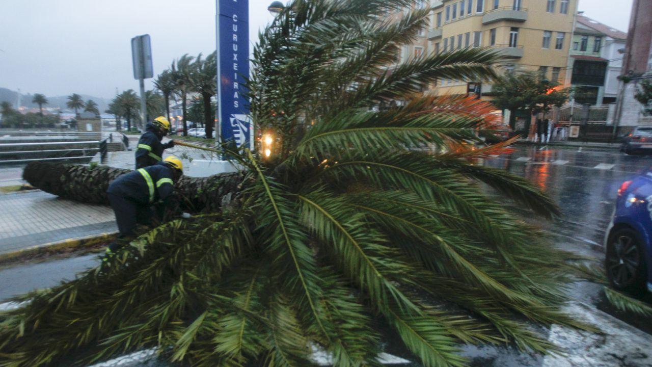 Bomberos de Ferrol procedieron a la retirada de la palmera, que invadía parte de la calzada