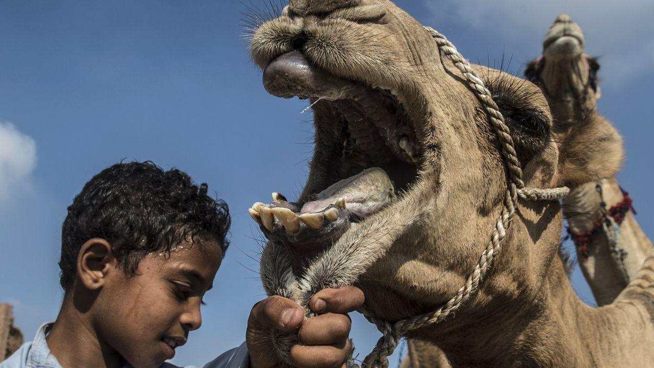 .Un niño egipcio sostiene un camello en el mercado de camellos de Berqash, al noreste de El Cairo