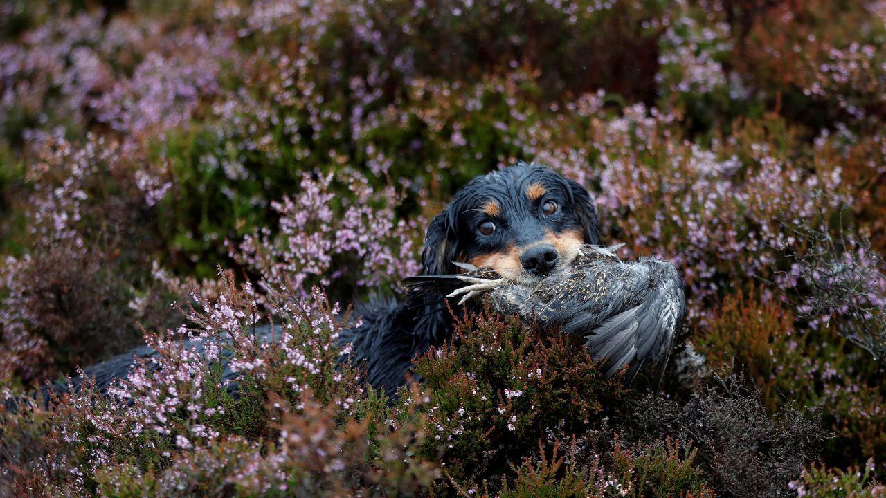 Un perro de caza recupera un urogallo en Forneth Moor en el primer día de la temporada de caza del urogallo, Escocia, Gran Bretaña