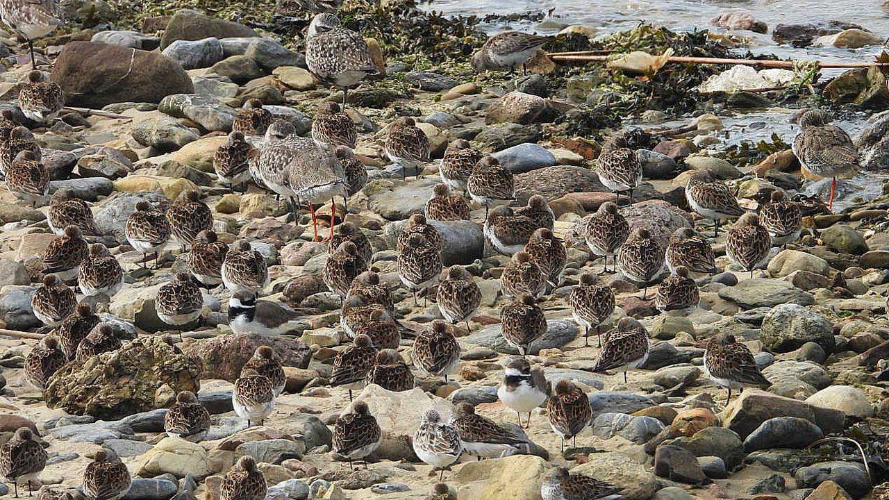 Miles de aves migratorias visitaron este lunes la ría de Avilés