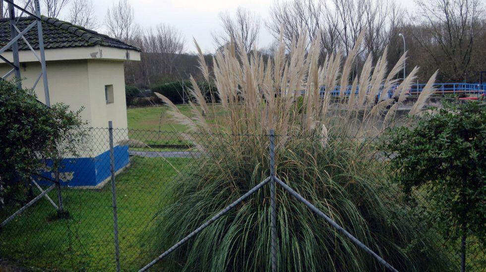 Flora invasora que se propaga por el sur de la provincia.La maleza crece en el área recreativa de Val do Mao, cerca del santuario de San Eufrasio.