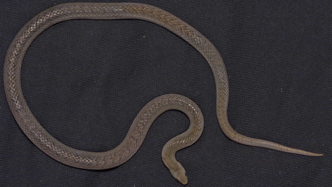 «Oligodon huahin», una de las serpientes encontradas en Tailandia