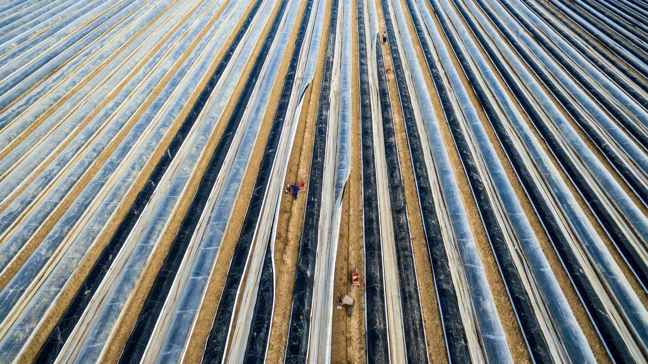 Foto aérea tomada con un dron muestra a los trabajadores cortando espárragos en medio de hileras cubiertas de papel de aluminio en el pueblo de Suenching, al sur de Alemania, al comienzo de la cosecha