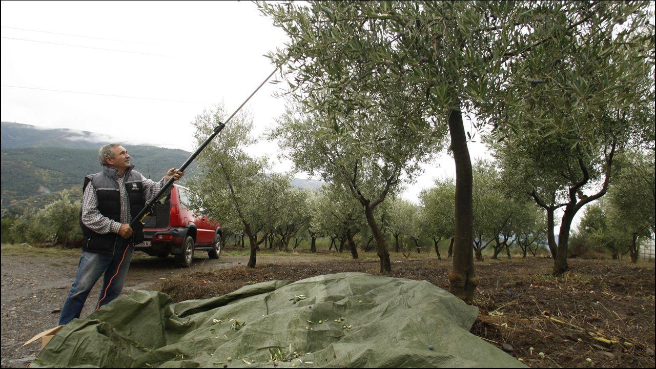 Comienza la cosecha de la aceituna.Imagen facilitada por la Policía Nacional de la detención en Zaragoza de César Román, el empresario conocido como el  rey del cachopo