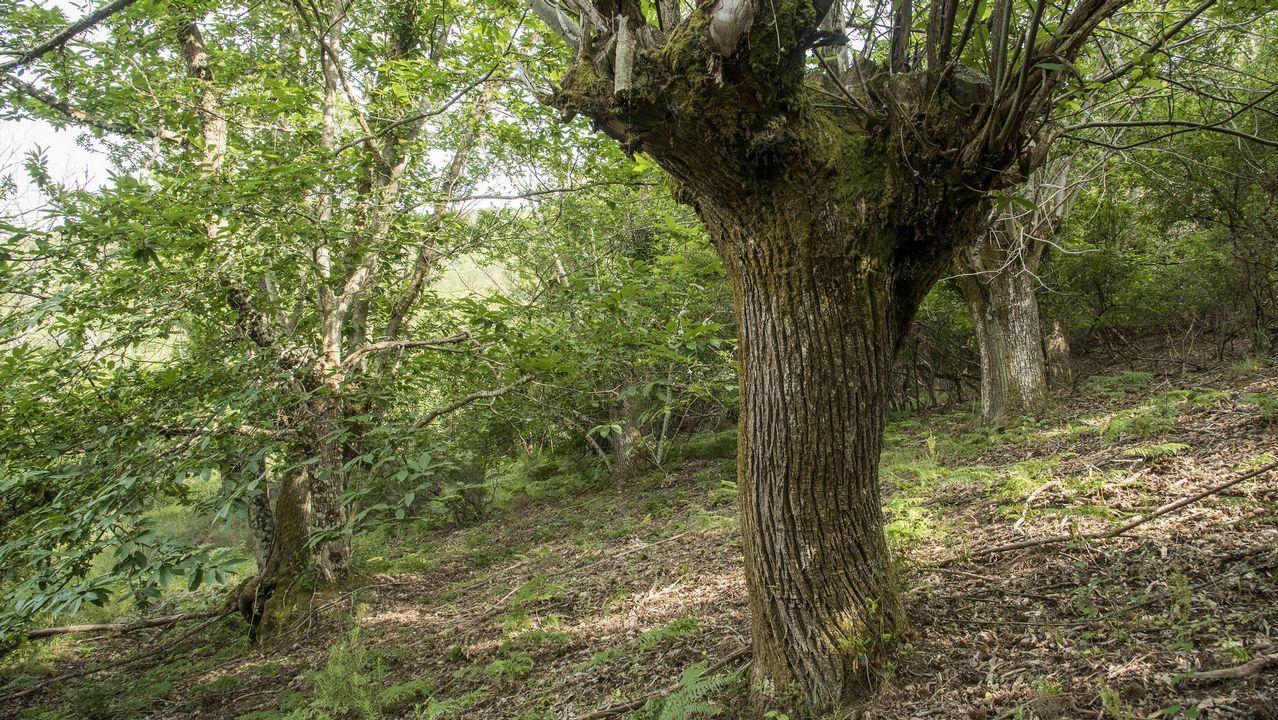 El cultivo de la castaña en un extenso souto hoy abandonado fue la principal actividad de los vecinos de Lentellais