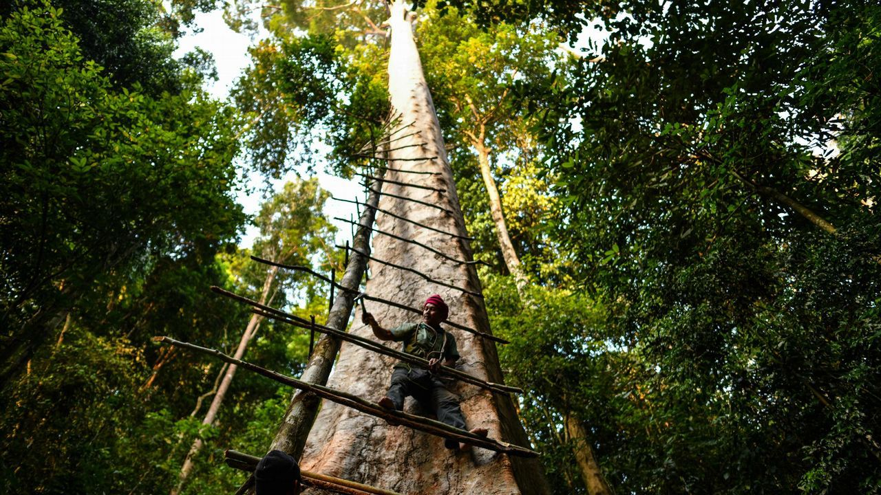 Imagen de un recolector de miel malasio en un árbol gigante en Sik (Malasia)