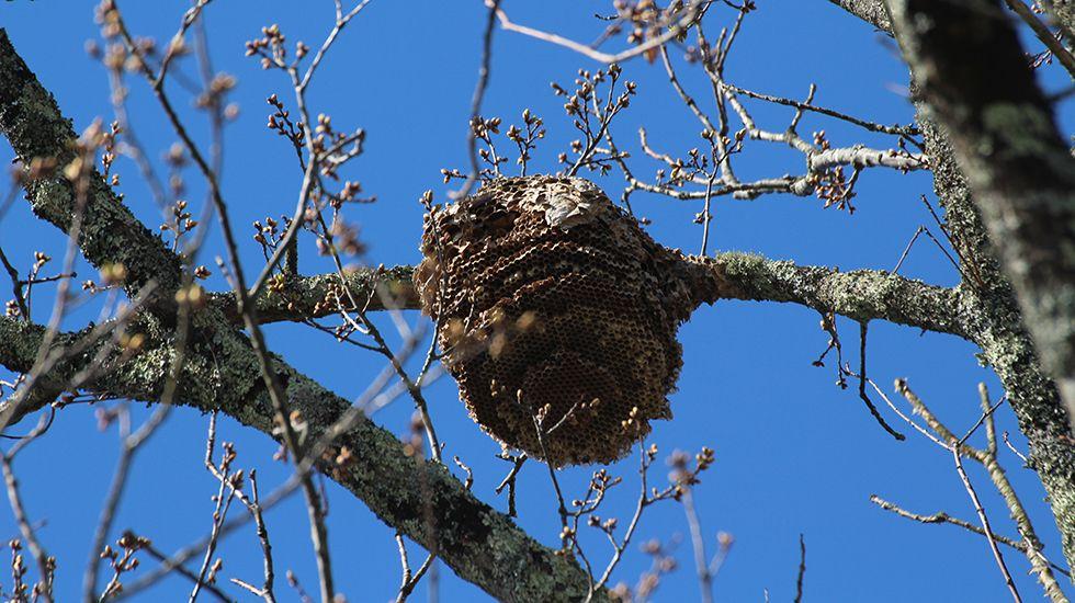 Un nido de avispa asiática.