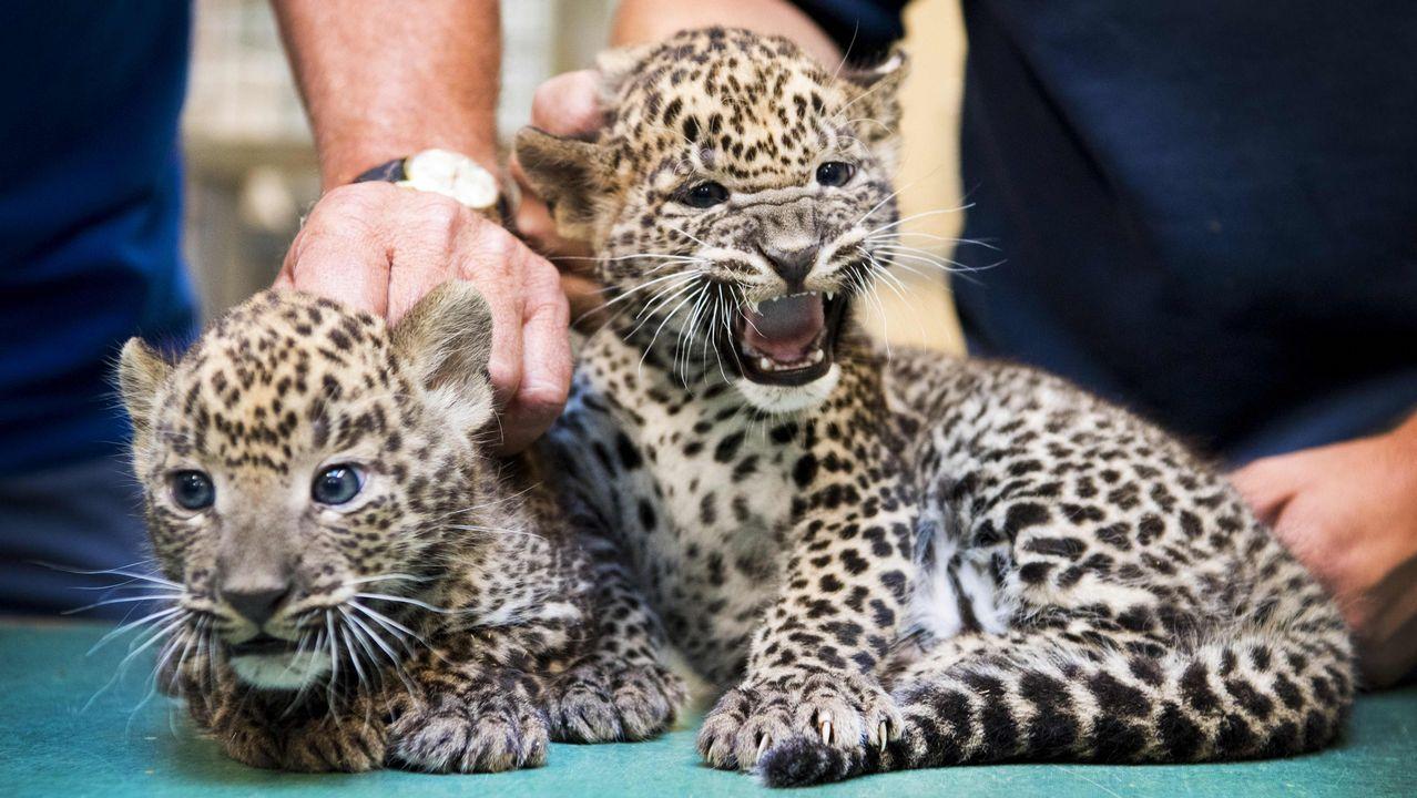 Dos cachorros de leopardos pasan un chequeo veterinario en un zoo holandés