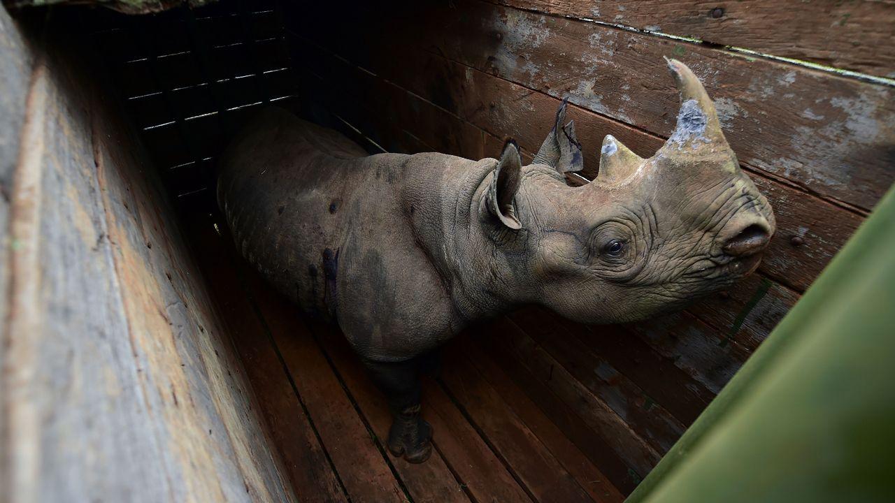 .Un ejemplar de rinoceronte blanco, en el Parque Nacional de Nairobi