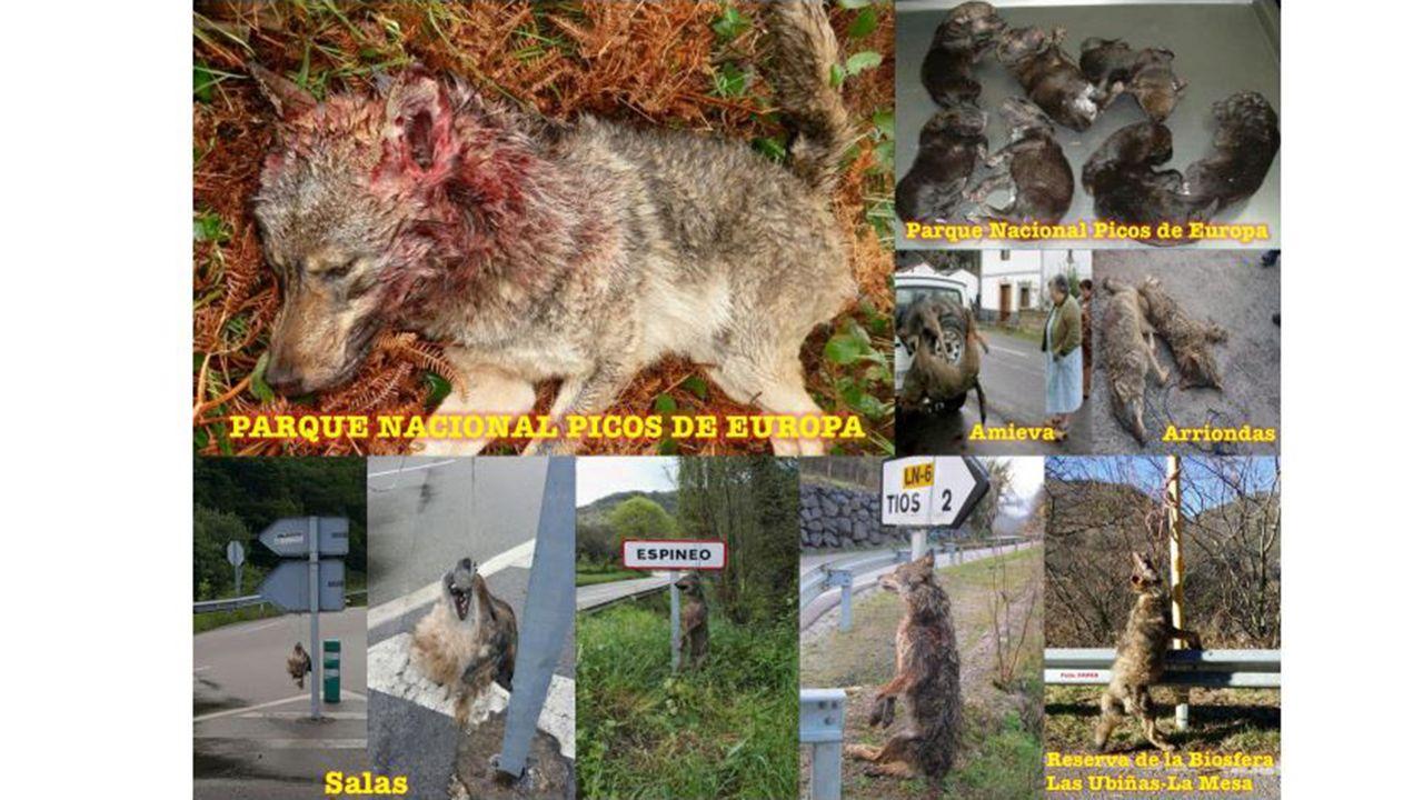 .Lobos encontrados muertos en Asturias