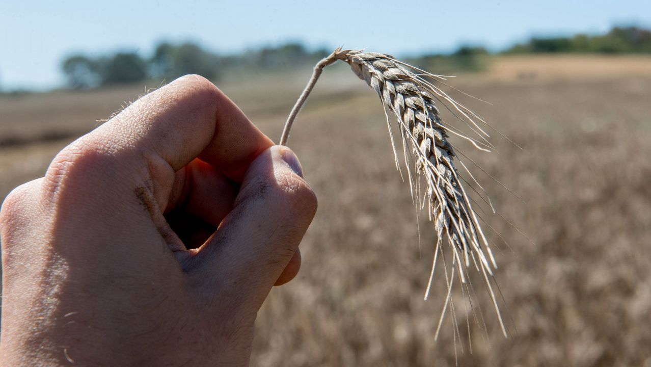 cerveza.Recolección de trigo en A Limia