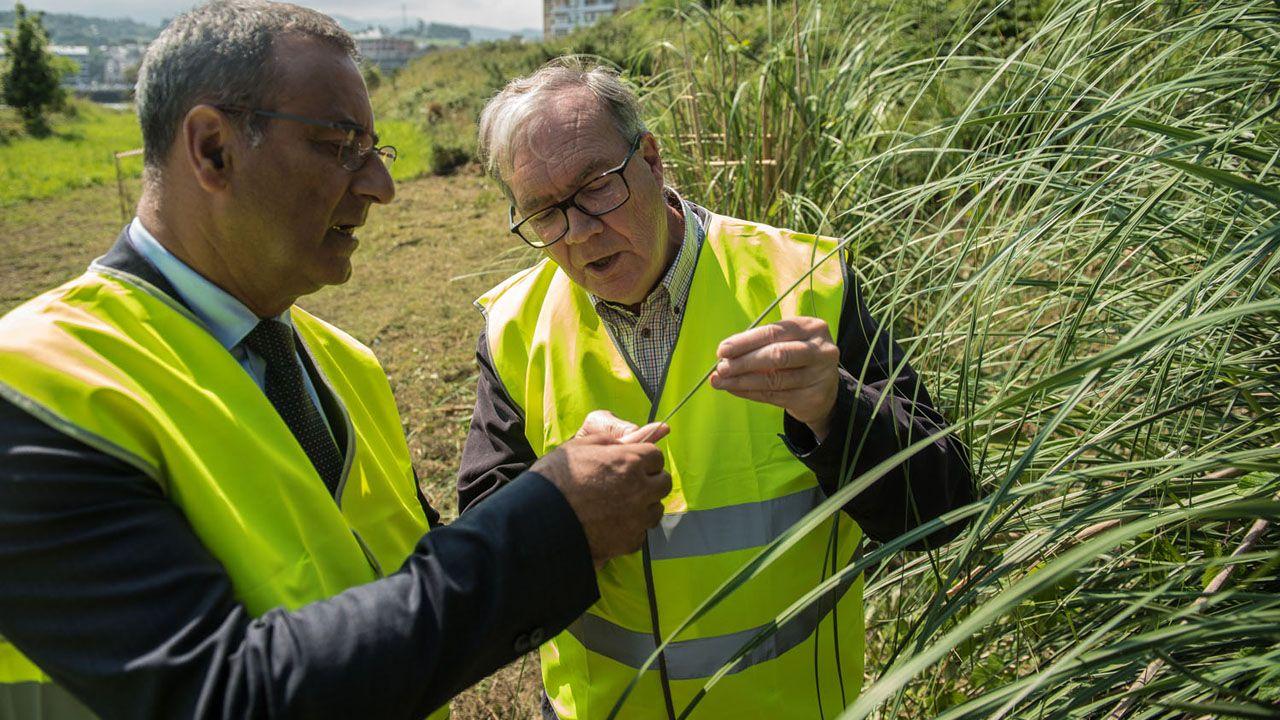 El catedrático Tomás Emilio Díaz muestra la planta del plumero de la Pampa al consejero de Infraestructuras, Ordenación del Territorio y Medio Ambiente, Fernando Lastra.