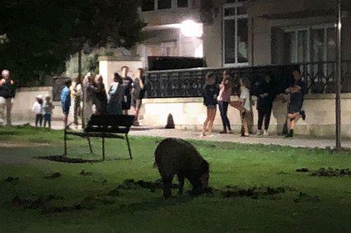 La sorpresa de los vecinos al ver a un jabalí en Oleiros