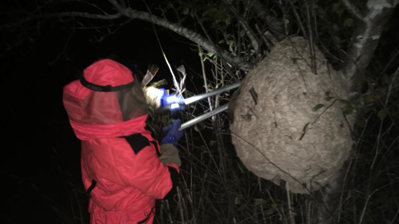 Retiran un enorme nido de velutina en Coirós.Vacunación gripe