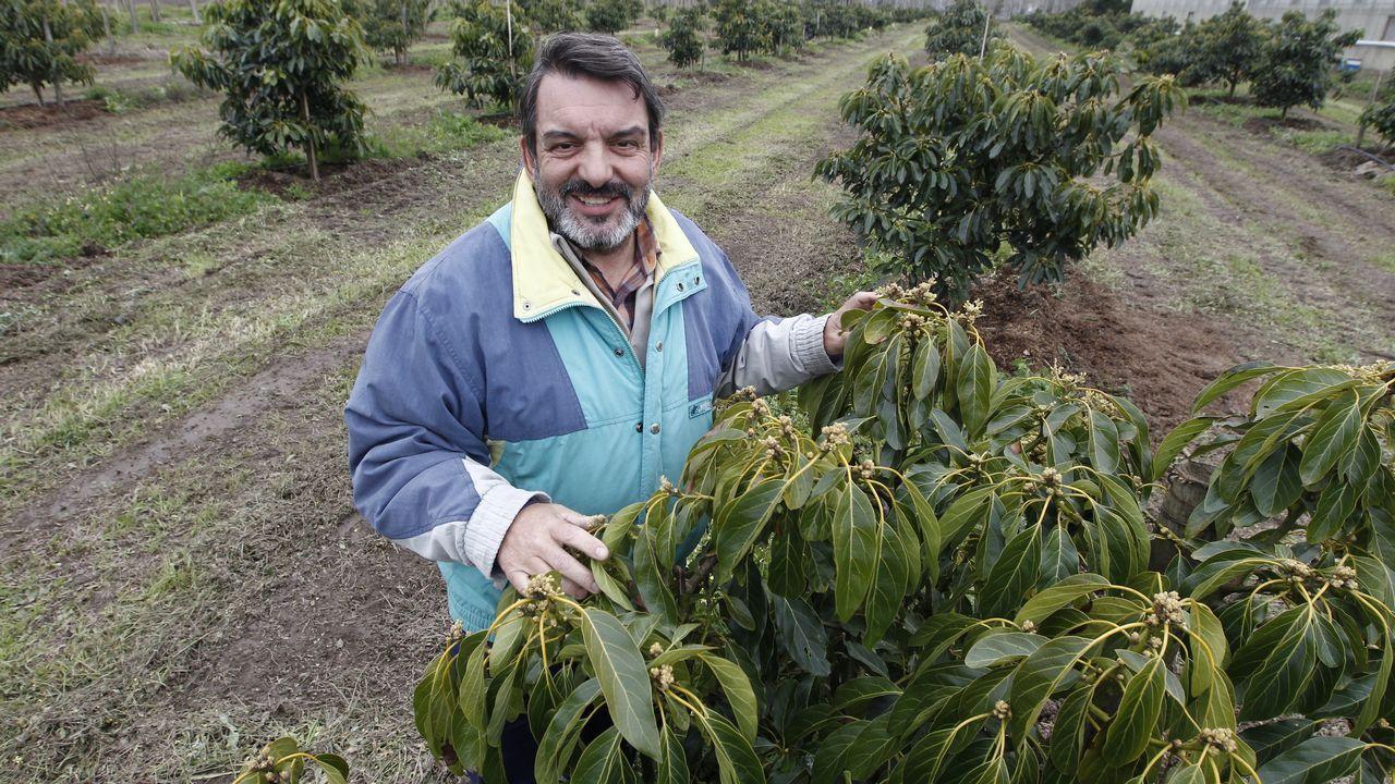 Aguacates en O Rosal. Juan Ángel en la finca de Cultivos Miñotos, donde plantan aguacate y manzana de sidra.