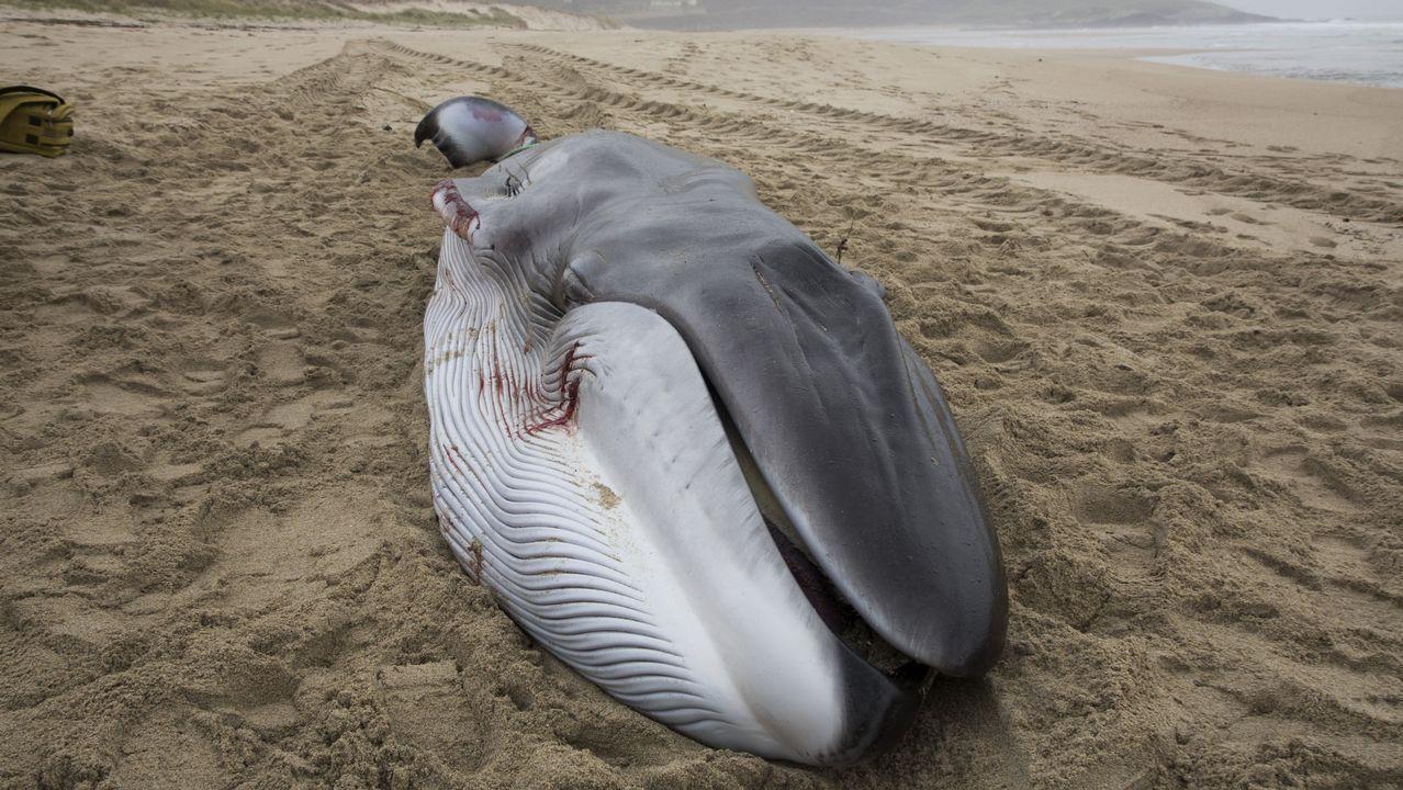 Bens se traga la séptima ballena varada en un mes