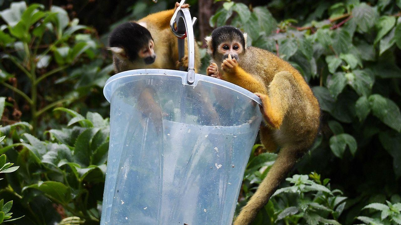 Dos primates saimiri son tentados con comida para dejarse pesar durante el pesaje anual de los animales del Zoo de Londres