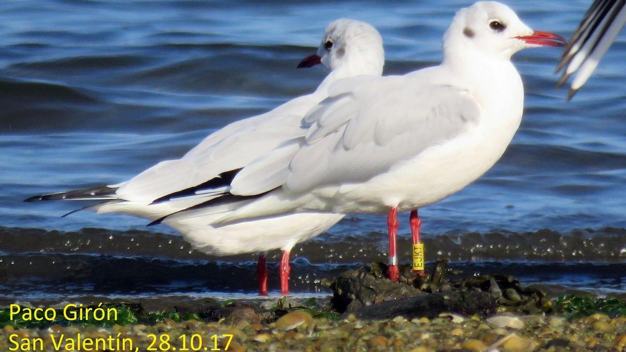 Gaviota reidora o gaivota chorona