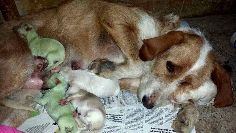 Nacen dos perros verdes en Valladolid