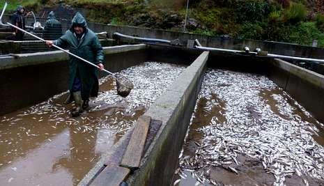 El muro de la presa cedió ante la crecida y las truchas murieron al quedarse las balsas sin agua.