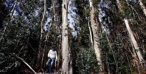 La estación fitopatológica de Areeiro fue pionera en la investigación de cómo combatir al gorgojo del eucalipto.