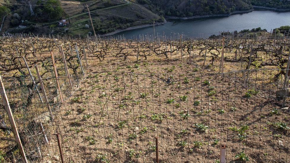 En O Lameiro también se cultivan patatas entre las muras de los viñedos