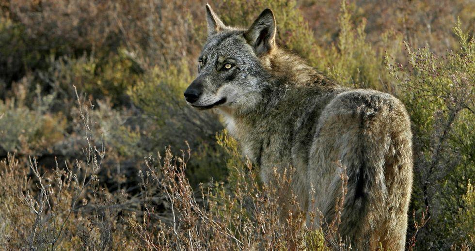 Uno de los ejemplares fotografiados por Andoni Canela y publicado en su libro Durmiendo con lobos.