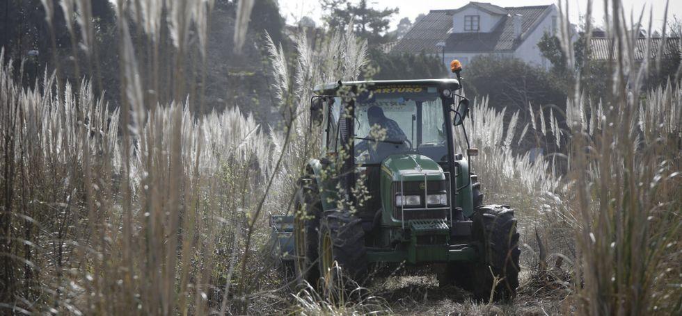 Noa, la perrita «deshauciada».Un tractor desbrozó y trituró las plantas, que antes habían sido tratadas con herbicida.