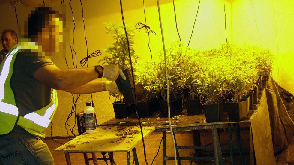 Un guardia civil desmonta el laboratorio con 113 plantas de marihuana en un chalet de Gijón.Un guardia civil desmonta el laboratorio con 113 plantas de marihuana en un chalet de Gijón