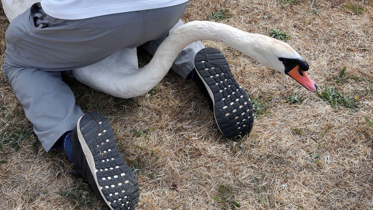 Un hombre examina a un cisne durante el recuento del censo de aves en el río Támesis